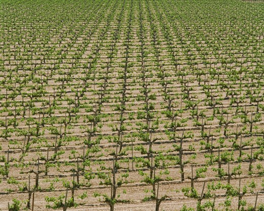 Rows of Grape Vines : Stock Photo