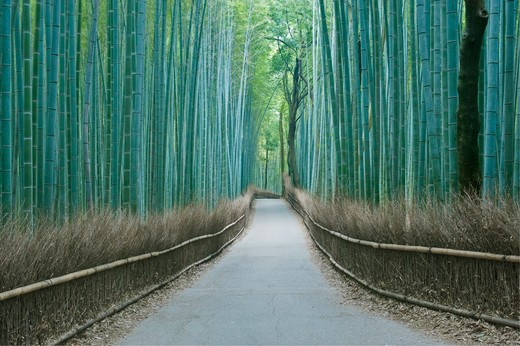 Sagano Bamboo Forest : Stock Photo