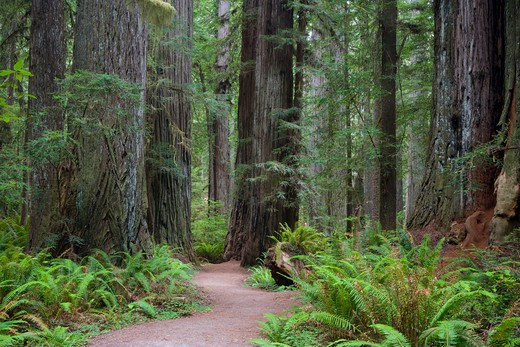 Redwoods National and State Parks : Stock Photo