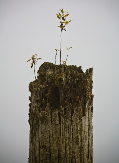Dead Tree with Seedling : Stock Photo