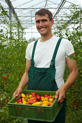 Happy organic farmer carrying tomatoes in a greenhouse : Stock Photo