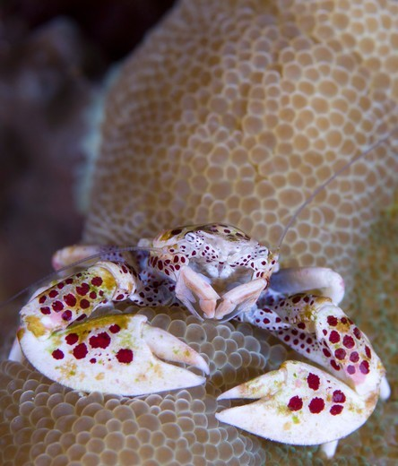 Stock Photo: 4239-5690 Spotted porcelain crab (Neopetrolisthes maculatus) perched on anemone mantle (Stichodactyla sp), feeding on plankton with feather net arms, Solomon Islands.