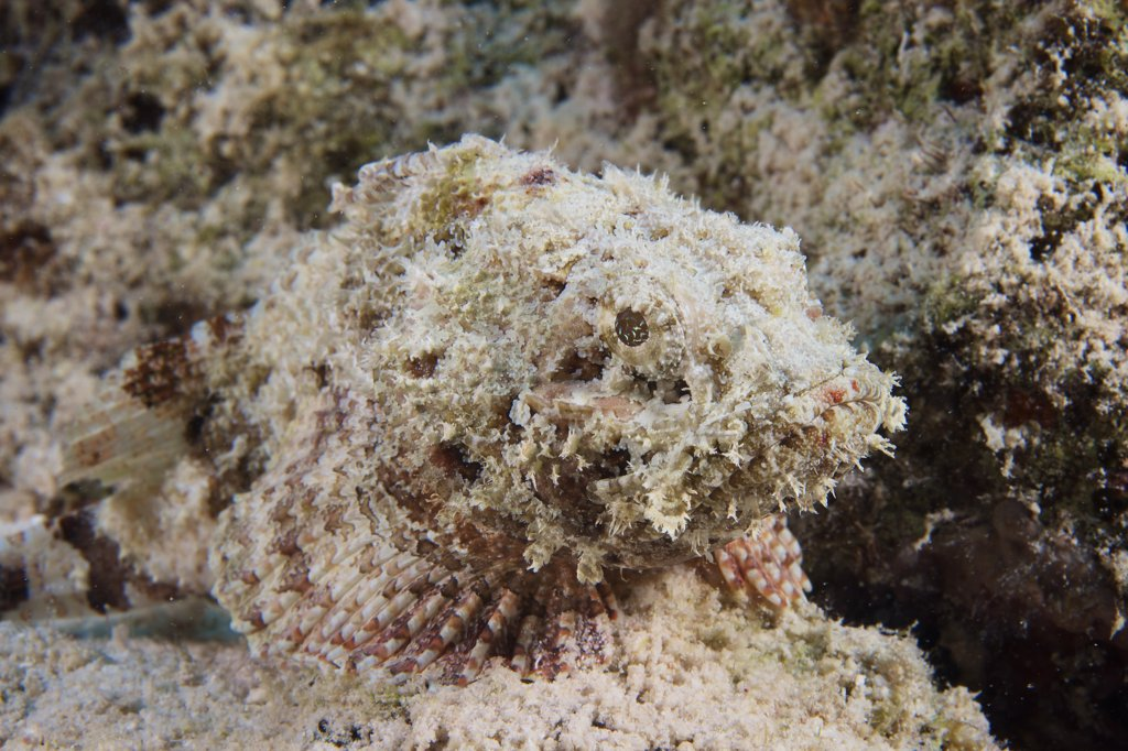 Stock Photo: 4239R-3292 A Juvenile Spotted Scorpionfish camouflaged to its surroundings, Bonaire, Caribbean Netherlands.