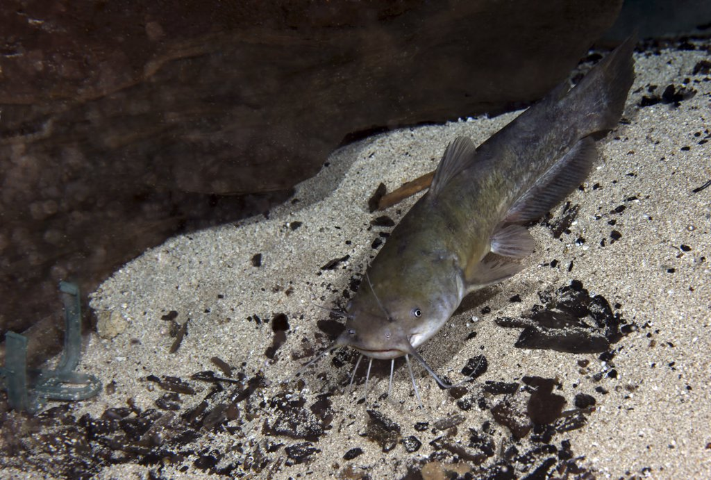 Stock Photo: 4239R-3478 A Brown Bullhead catfish (Ameiurus nebulosus) swims around a rock at the bottom of the Morrison Springs cavern floor about 80 feet deep in the waters at the state park near Red Bay, Florida.