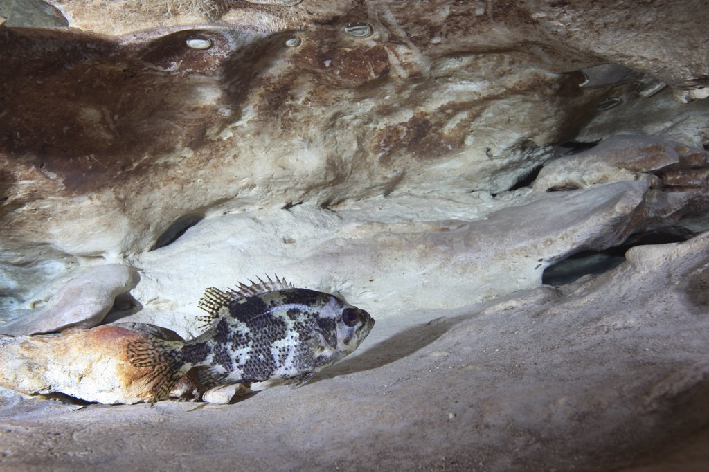 Stock Photo: 4239R-3490 Shadow bass (Ambloplites ariommus) perched on a rock ledge about 90 feet deep just below the Vortex Spring cave ceiling where air bubbles have surfaced. Shadow Bass is a member of the Centrarchids family or sunfish family and is closely related to the rock bass.