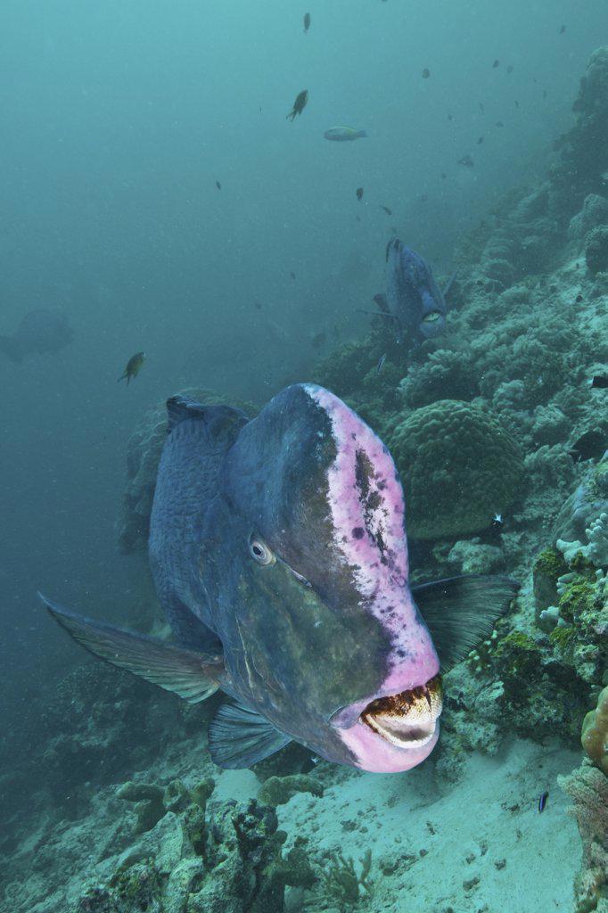 Bumphead parrotfish, Sabah, Malaysia. : Stock Photo
