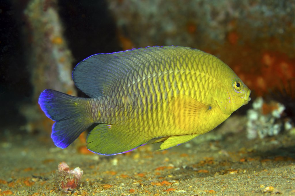 Stock Photo: 4239R-4145 A Dusky Damselfish (Stegastes fuscus) swimming over the deck of the bridge Span 2 artificial reef at about 100 feet of gulf waters offshore from Panama City, Florida.