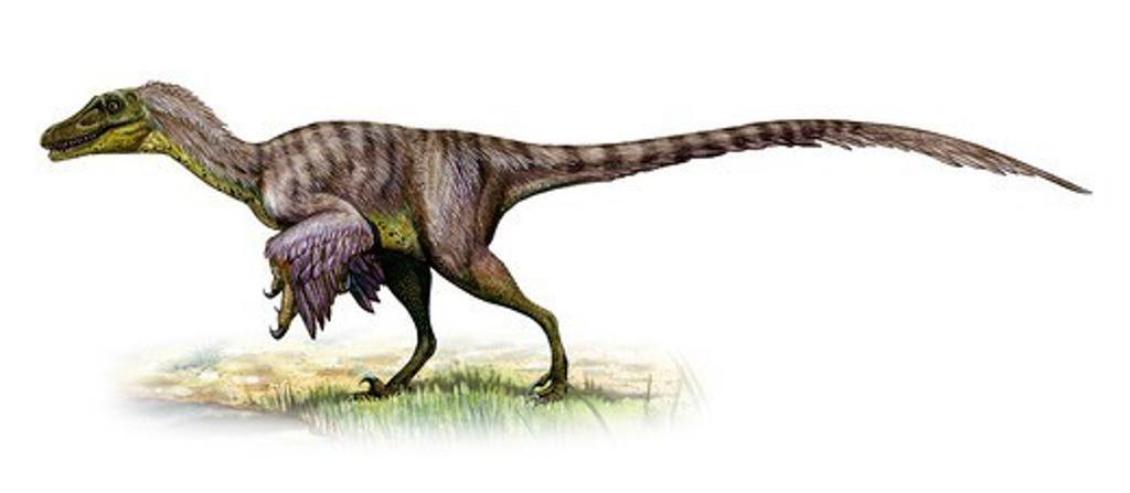 Stock Photo: 4239R-5963 Velociraptor mongoliensis, a prehistoric era dinosaur.