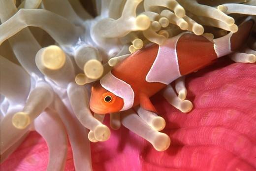 Clownfish in sea anemone, Indonesia. : Stock Photo