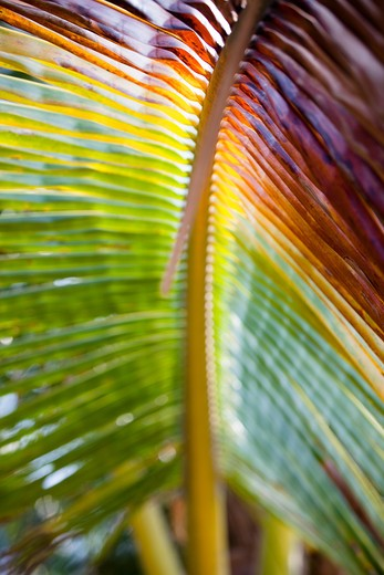 Stock Photo: 4252-21279 Palm tree leave
