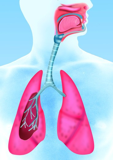 Stock Photo: 4252-4106 Respiratory system