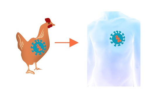 It's a viral disease from the poultry who can be transmitted to man and other animals (pork) : Stock Photo