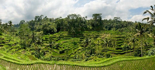 Stock Photo: 4255-1007 Bali, Panoramic images of rice fields