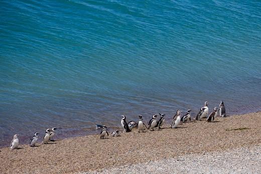 Stock Photo: 4256-1016 Magellanic penguins (Spheniscus magellanicus) on beach at Peninsula Valdes National Reserve,Peninsula Valdes, near Puerto Madryn, Chubut, Patagonia, Argentina, South America