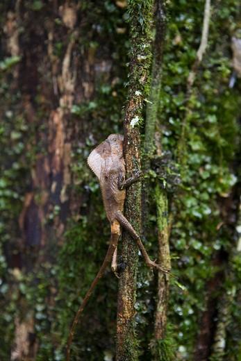 Helmeted Basilisk (Crytophanes cristatus) on tree in Veragua Rainforest Park,Near Puerto Limon, Limon, Costa Rica, Central America : Stock Photo