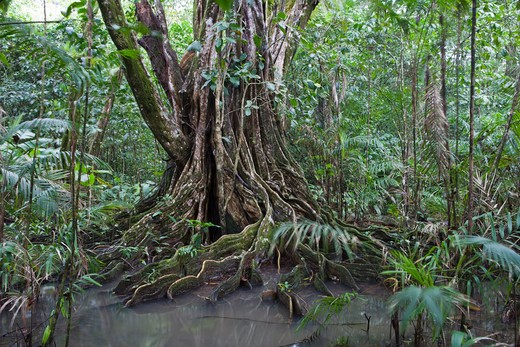 Stock Photo: 4256-1045 Banyan tree in rainforest,Corcovado National Park, Osa Peninsula, Puntarenas, Costa Rica, Central America