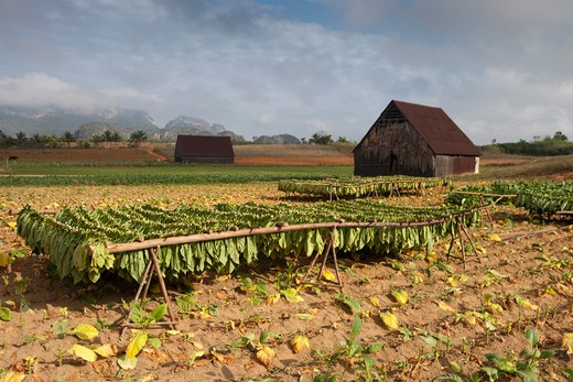 Tobacco field and tobacco-drying houses,Vinales, Pinar del Rio, Cuba, Caribbean : Stock Photo