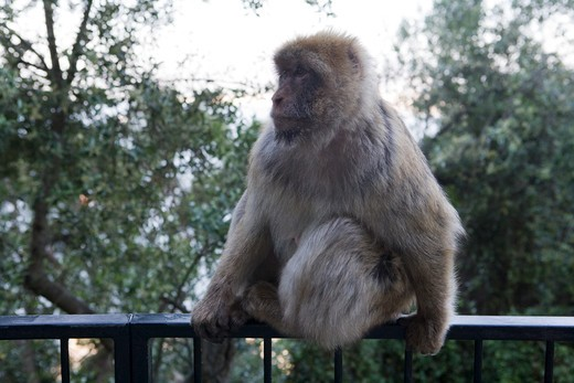 Gibraltar ape (Barbary Macaque) sitting on a railing at Upper Rock Nature Reserve,Gibraltar,Gibraltar, Europe : Stock Photo