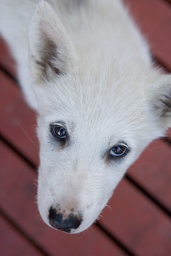 Stock Photo: 4256-1240 Close-up of a sled dog puppy,Ilulissat (Jakobshavn), Disko Bay, Kitaa, Greenland, Europe