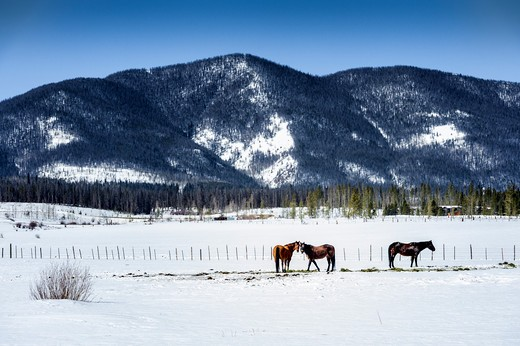 Three horses grazing in a snow covered field, Rocky Mountains, Colorado, USA : Stock Photo