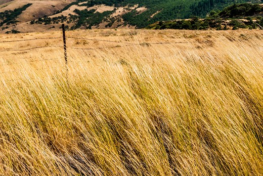 Stock Photo: 4260-1309 Wild grass wave in the wind, Oregon, USA