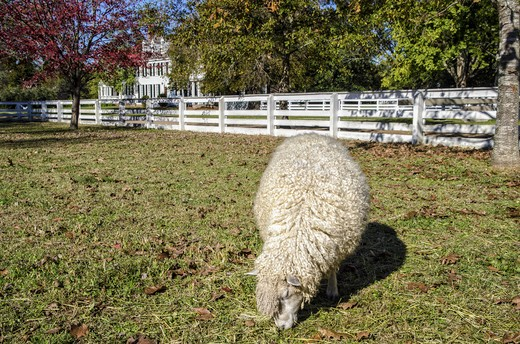 Sheep grazing in a pasture, Williamsburg, Virginia, USA : Stock Photo