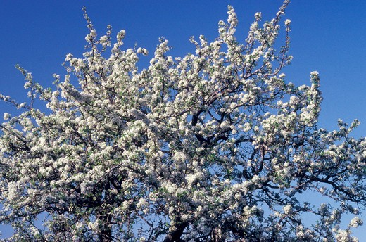 wild pear in bloom, saint florent, france : Stock Photo