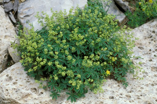 alchemilla alpina, valzurio, italy : Stock Photo