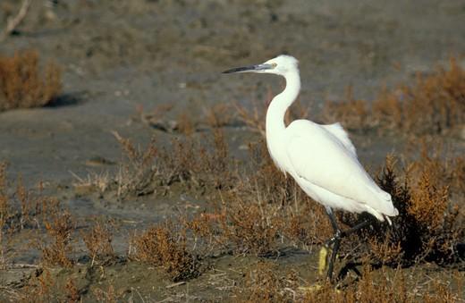 little egret, les saintes maries de la mer, france : Stock Photo