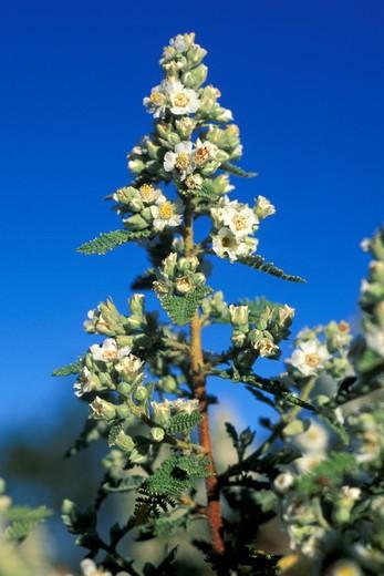 chamaebatiaria millefolium, grand canyon national park, usa : Stock Photo