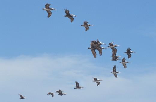 fliyng brown pelicans, paracas national reserve, peru : Stock Photo