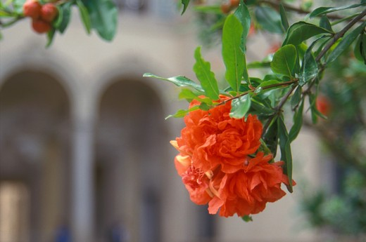 Stock Photo: 4261-16738 pomegranate flowers, busseto, italy
