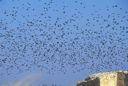 Stock Photo: 4261-16848 fliyng starlings, margherita di savoia, italy