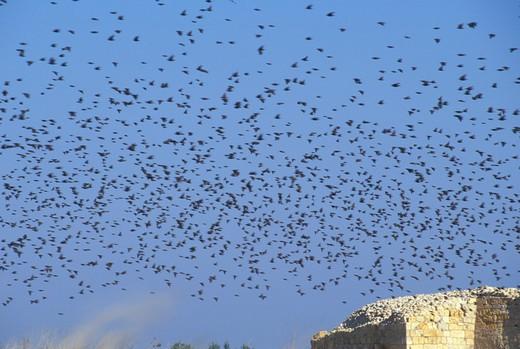 fliyng starlings, margherita di savoia, italy : Stock Photo