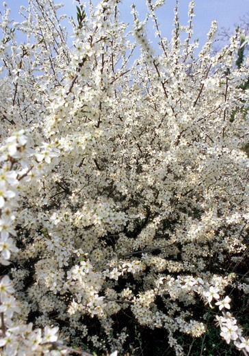 Stock Photo: 4261-16920 prunus spinosa, gessi bolognesi regional park, italy