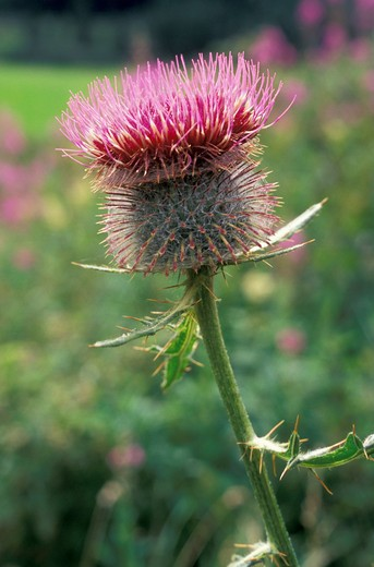 cirsium eriophorum eriophorum flower, engadine national park, switzerland : Stock Photo
