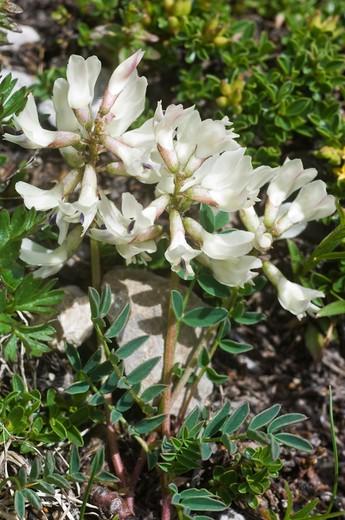 astragalus australis australis flowers, san pellegrino pass, italy : Stock Photo