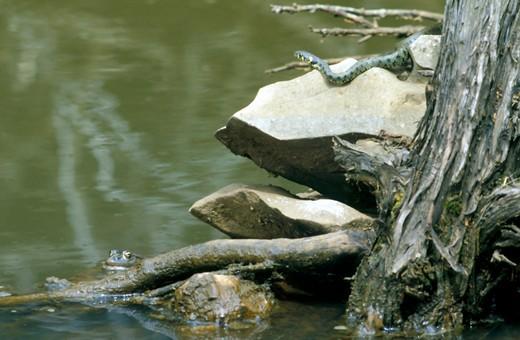 Stock Photo: 4261-18470 european grass snake, cres island, croatia