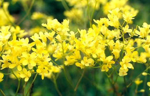 biscutella laevigata flowers, eastern orobie mountains, italy : Stock Photo