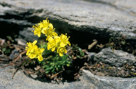 draba hoppeana flowers, petit saint bernarde, italy : Stock Photo
