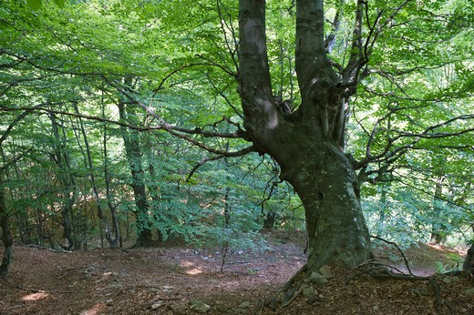 old age beech, val grande national park, italy : Stock Photo