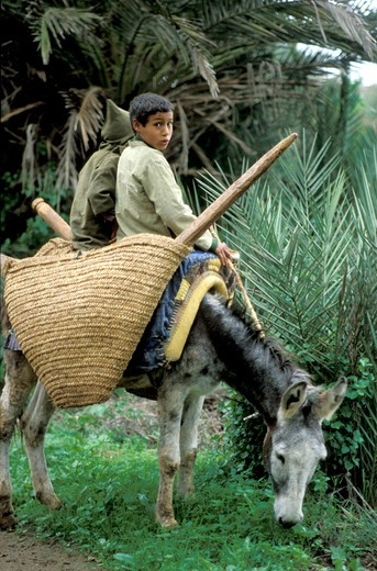 Children on a donkey, Tiout, Morocco, North Africa, Africa : Stock Photo