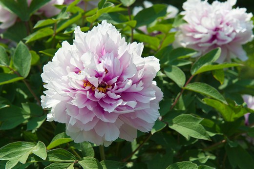 Stock Photo: 4261-21029 Paeonia sp. cultivar flower, Lonno, Lombardy, Italy