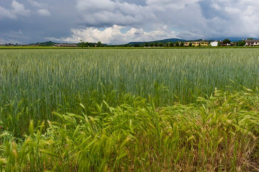 Stock Photo: 4261-21131 Barley and wheat growing, Cazzago San Martino, Lombardy, Italy