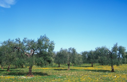 olive grove, valle d'itria, Italy : Stock Photo