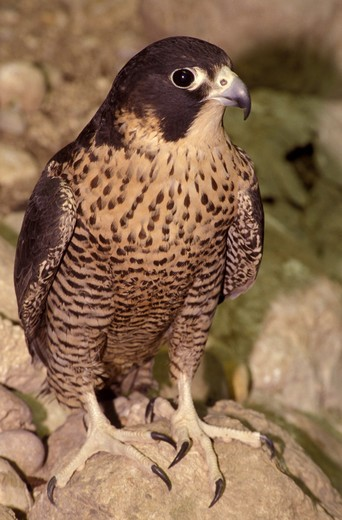 Peregrine falcon, Italy : Stock Photo