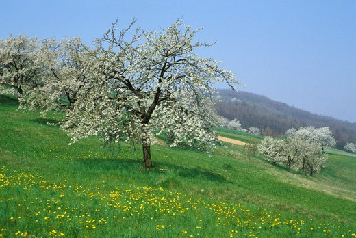 Stock Photo: 4261-25951 cherry trees, gavarno, italy