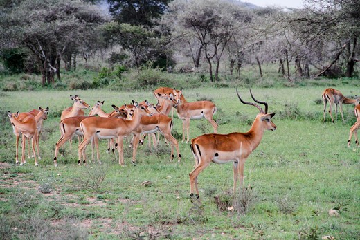 Tanzania, Africa. A place where nature and big animals live together in perfect armony. Tanzania has considerable wildlife habitat, including much of the Serengeti plain. Antelopes, Serengeti : Stock Photo