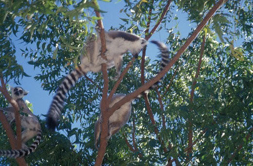 Stock Photo: 4261-34861 Ring-Tailed lemurs, Madagascar, Indian Ocean, Africa