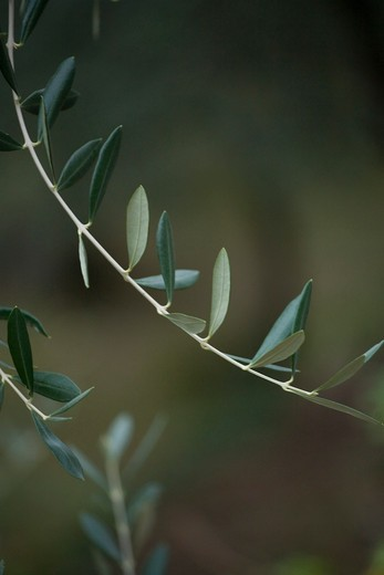 Olive leaf, Rocca di Perti, Finale Ligure, Ligury, Italy, Europe : Stock Photo